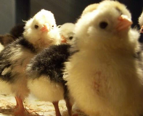 Herbeins Garden Center Baby Chicks