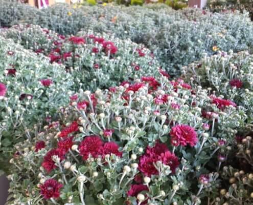 Fall mums Herbeins Garden Emmaus Pa