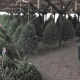 Herbeins Christmas trees