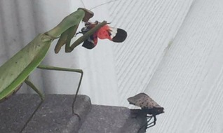 Spotted Lanternfly eaten by praying mantis