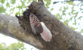 Spotted Lanternfly laying eggs- Photo Credit: Christine Kuhns