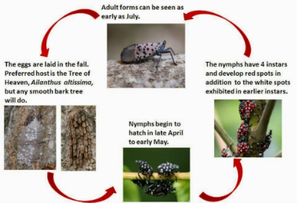 Spotted lanternfly lifecycle Herbein's Garden Center Lehigh Valley Emmaus Pa
