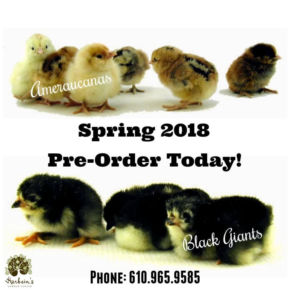 Spring Chicken Order Herbeins
