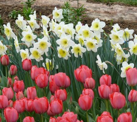 Tulip daffodils Herbeins Garden Center Emmaus Pa