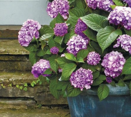 bloomstruck hydrangea Proven Winners Herbeins Garden Center Emmaus PA