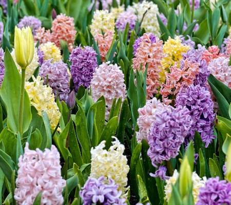 hyacinths spring flowers Herbeins Garden Center