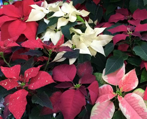 Herbeins Holiday Poinsettias Lehigh Valley Pa