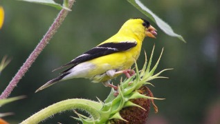 American yellow goldfinch bird birdseed Herbeins Garden Center Emmaus PA