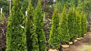 Arborvitae Herbein's Garden Center Emmaus Pa