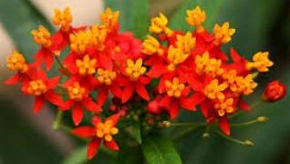 Asclepias butterfly weed Yellow Orange Perennial Herbeins Garden Center Emmaus Pa