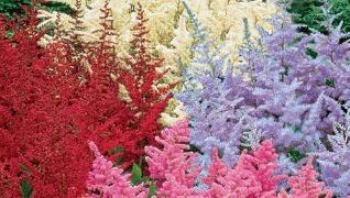 Astilbe arendsii Pink red flowers perennials Herbeins Garden Center Emmaus Pa