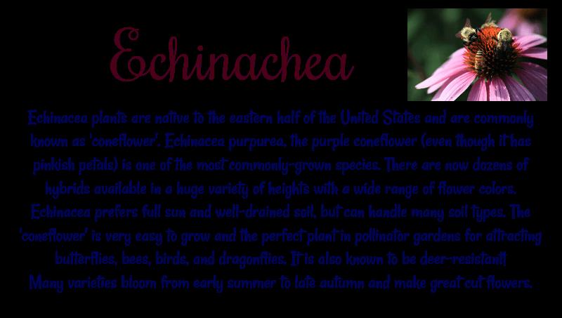 Echinacea info Coneflower Herbeins Garden Center Emmaus Pa