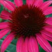 Echinacea Herbeins Garden Center