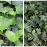 English Ivy Herbein's Garden Emmaus Pa