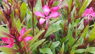 Gaura Lindheimeri pink perennial Herbeins Garden Center Emmaus Pa
