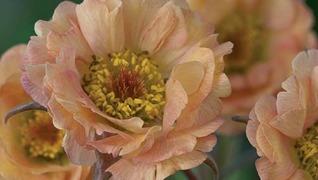 Geum 'Mai Tai' perennial peach flower Herbeins Garden Center Emamaus PA