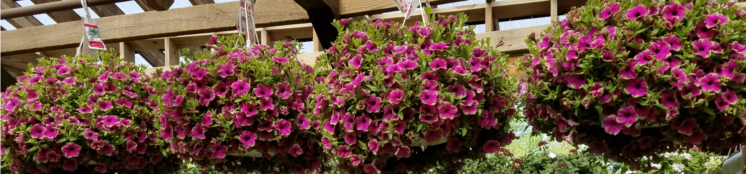 Hanging Baskets Herbeins Garden Center