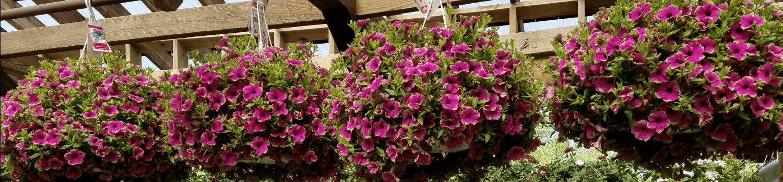 Hanging Baskets Herbeins Garden Center