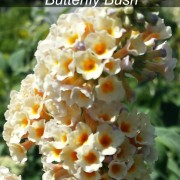 Honeycomb butterfly bush Herbeins Garden Lehigh Valley Pa
