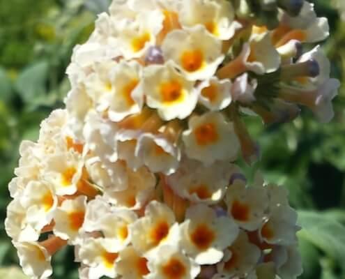 Honeycomb butterfly bush Herbeins Garden Lehigh Valley Pa
