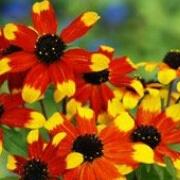 Rudbeckia 'Prairie Glow' Herbeins Garden Center