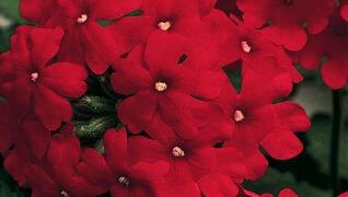 Verbena Red Annual Flower Herbeins Garden Center Emmaus Pa