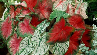 Caladium Annual Flower Herbeins Garden Center Emmaus Pa