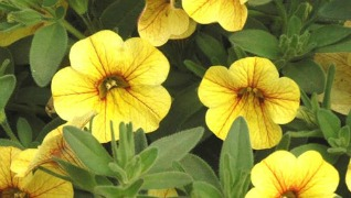 calibrachoa million bells yellow annuals Herbeins Garden Center Emmaus PA