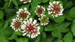 White Clover Seed Bee Crop Erosion Control Lawn Pasture Herbeins Garden Center Emmaus PA