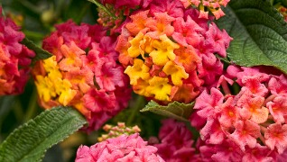 lantana berry blend Pink Orange Red Annuals Flowers Herbeins Garden Center Emmaus Pa