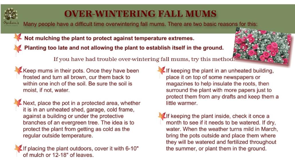 Fall Newsletter Mum Info