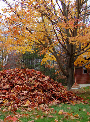 Raking fall leaves