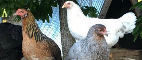 Whiting True Blue Chickens Herbeins Garden Center Pa