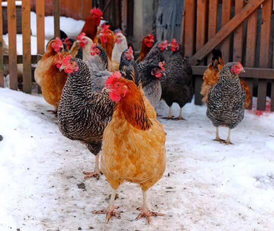 Chicken Coop in Snow Herbeins Garden Lehigh Valley Pa