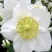 Christmas Rose Herbein's Garden Center Lehigh Valley Emmaus Pa