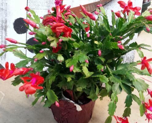 Herbeins Garden Center Christmas Cactus Red Lehigh Valley Emmaus Pa