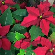 Herbeins Poinsettia Lehigh Valley Pa