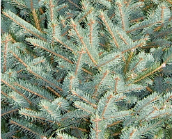 Meyeri Spruce Christmas Tree