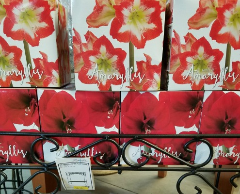 Christmas Amaryllis Bulbs Holiday