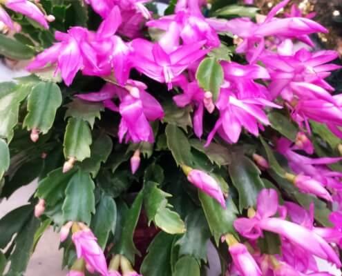Herbeins Garden Christmas Cactus Lehigh Valley Emmaus Pa