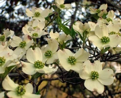 Herbeins Garden Center Dogwood tree