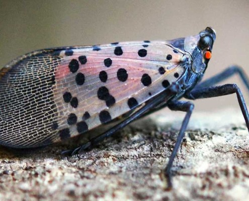 Spotted Lanternfly Herbeins Garden Center