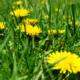 dandelion weeds weedkiller Herbeins Garden Center Emmaus PA