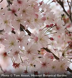 Autumn Flowering Cherry Tree Spring Shade Pink Ornamental Herbeins Garden Center Emmaus Pa