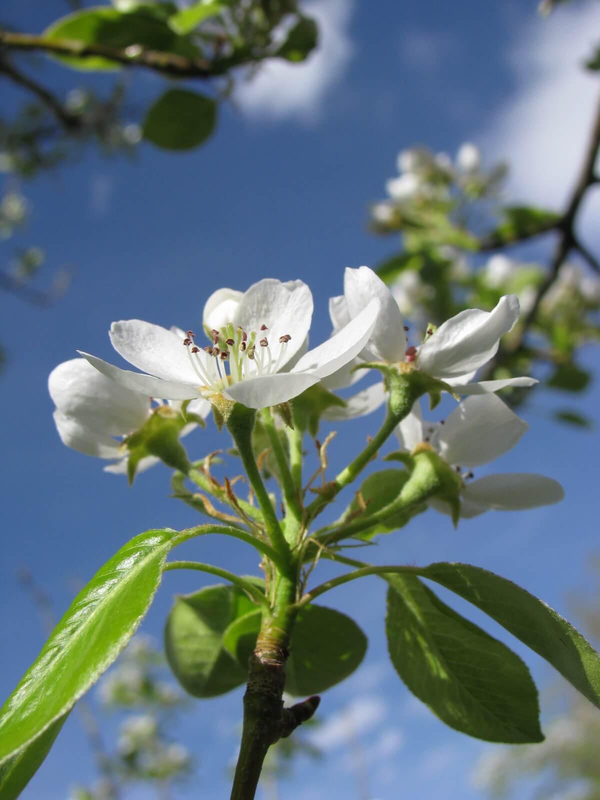 Cleveland Select Flowering Pear Tree Shade Spring Herbeins Garden Center Emmaus Pa