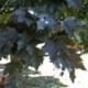 Crimson King Norway Maple Shade Tree Herbeins Garden Center Emmaus PA