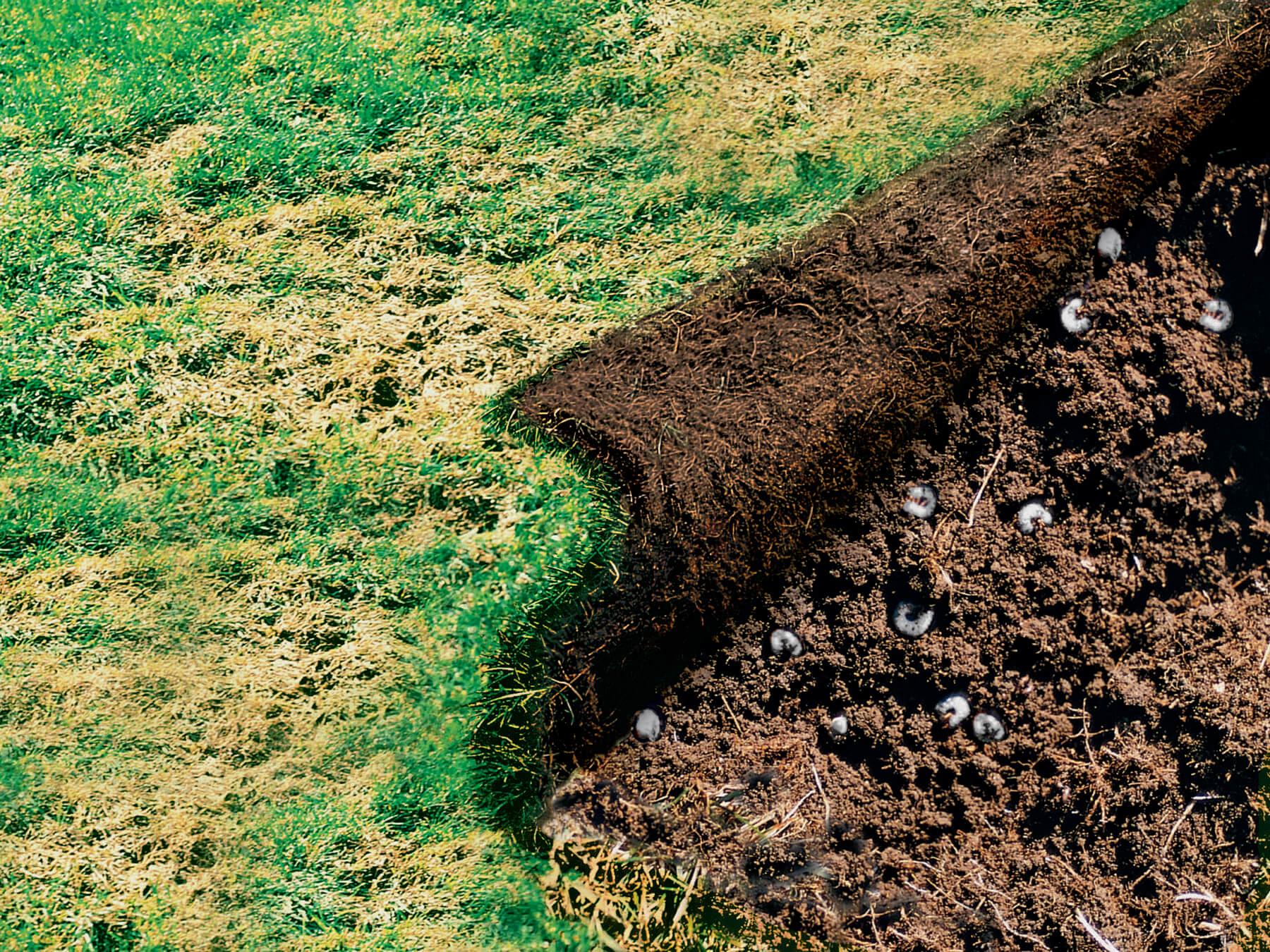 Grub damage to lawn Herbeins Garden Center Emmaus Pa