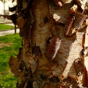 Heritage River Birch Peeling Bark Herbeins Garden Center Emmaus Pa