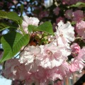 Kwanzan Cherry Tree Pink Flowering Herbeins Garden Center Emmaus Pa