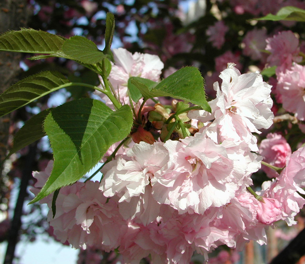 Kwanzan Cherry Tree Pink Flowering Herbeins Garden Center Emmaus Pa